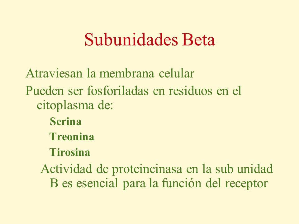 Subunidades Beta Atraviesan la membrana celular Pueden ser fosforiladas en residuos en el citoplasma de: Serina Treonina Tirosina Actividad de protein