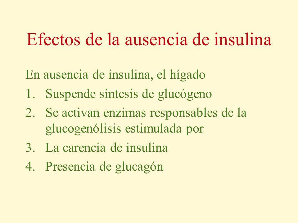 Efectos de la ausencia de insulina En ausencia de insulina, el hígado 1.Suspende síntesis de glucógeno 2.Se activan enzimas responsables de la glucoge