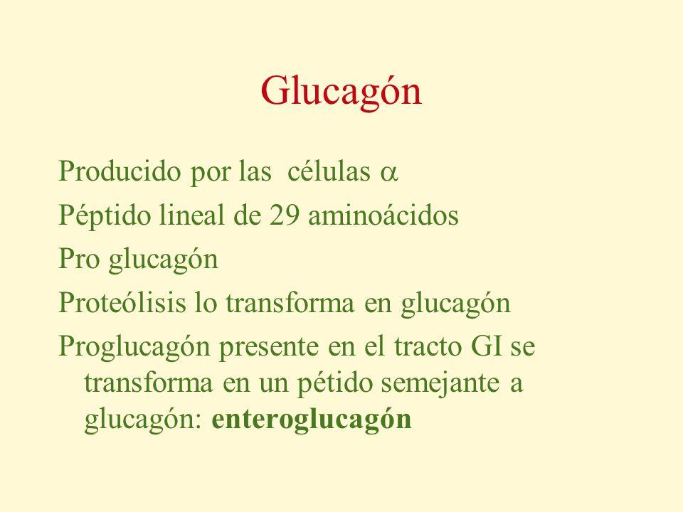 Glucagón Producido por las células Péptido lineal de 29 aminoácidos Pro glucagón Proteólisis lo transforma en glucagón Proglucagón presente en el trac