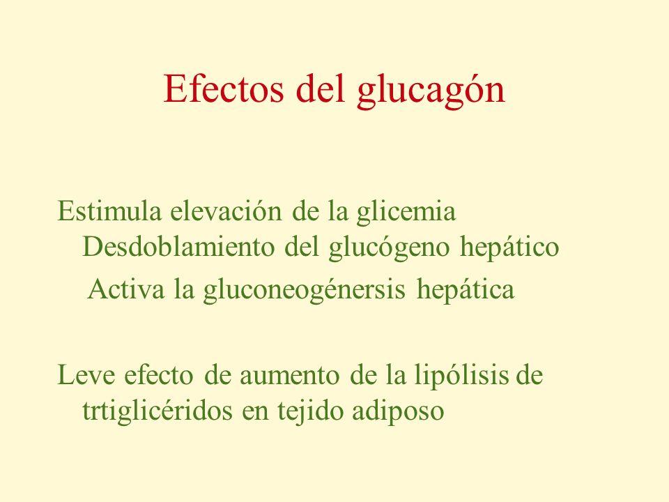 Efectos del glucagón Estimula elevación de la glicemia Desdoblamiento del glucógeno hepático Activa la gluconeogénersis hepática Leve efecto de aument