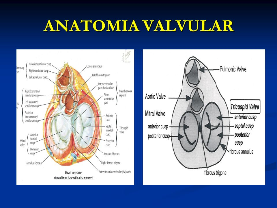 ANATOMIA VALVULAR