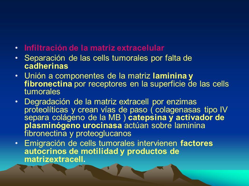 Infiltración de la matriz extracelular Separación de las cells tumorales por falta de cadherinas Unión a componentes de la matriz laminina y fibronect