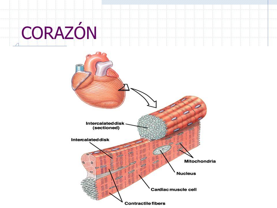PROTEÍNAS DE LA CONTRACCIÓN Actina: filamento delgado. Miosina: filamento grueso. Troponina C: es donde interactúan los iones de calcio y que aligeran