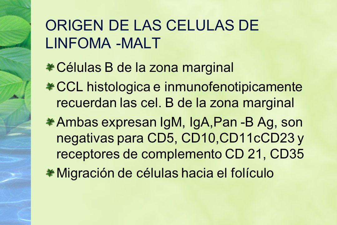 ORIGEN DE LAS CELULAS DE LINFOMA -MALT Células B de la zona marginal CCL histologica e inmunofenotipicamente recuerdan las cel. B de la zona marginal