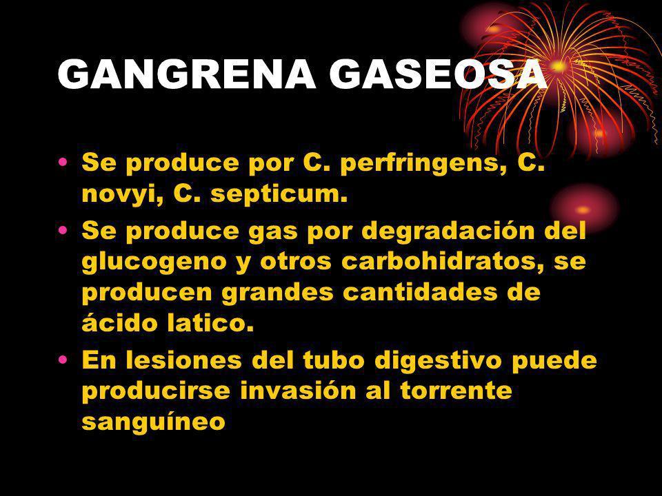 GANGRENA GASEOSA Se produce por C. perfringens, C. novyi, C. septicum. Se produce gas por degradación del glucogeno y otros carbohidratos, se producen