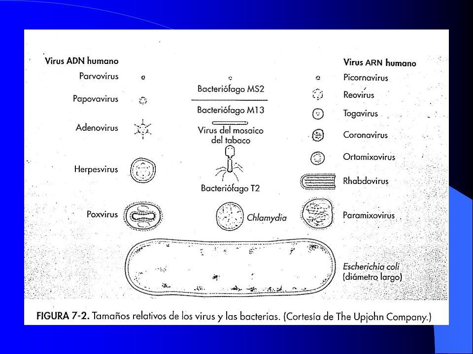 Virus con capside desnuda Virus con capside desnuda Estables a temperatura, acidez, proteasas,detergentes, desecacion y son liberados de la celula por lisis.
