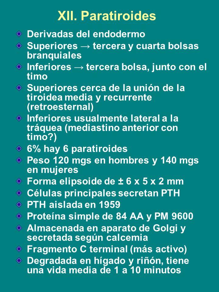 XII. Paratiroides Derivadas del endodermo Superiores tercera y cuarta bolsas branquiales Inferiores tercera bolsa, junto con el timo Superiores cerca