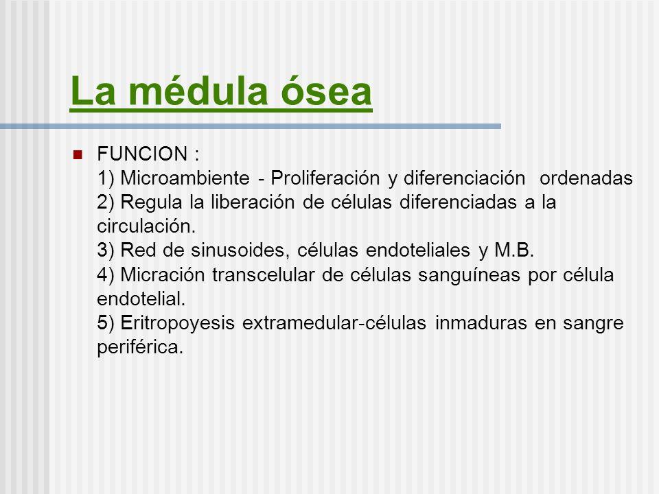 La médula ósea FUNCION : 1) Microambiente - Proliferación y diferenciación ordenadas 2) Regula la liberación de células diferenciadas a la circulación