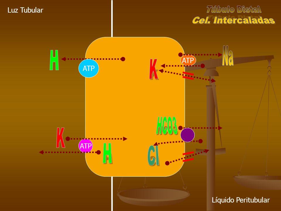 ATP Luz Tubular Líquido Peritubular ATP