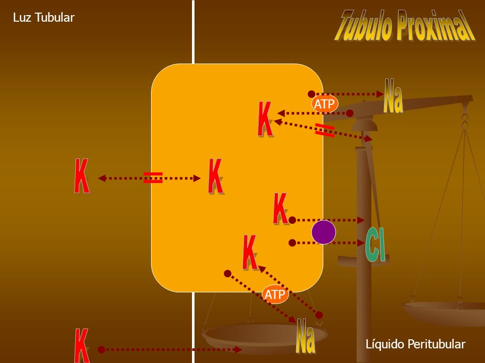 ATP Luz Tubular Líquido Peritubular
