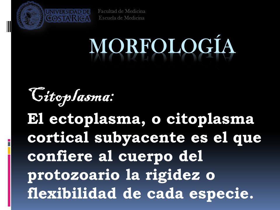 Citoplasma: El ectoplasma, o citoplasma cortical subyacente es el que confiere al cuerpo del protozoario la rigidez o flexibilidad de cada especie. Fa