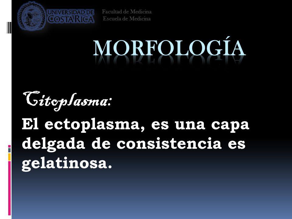 Citoplasma: El ectoplasma, es una capa delgada de consistencia es gelatinosa. Facultad de Medicina Escuela de Medicina