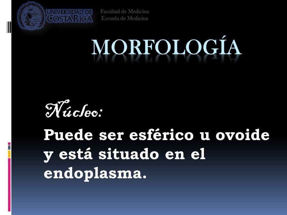 Núcleo: Puede ser esférico u ovoide y está situado en el endoplasma. Facultad de Medicina Escuela de Medicina
