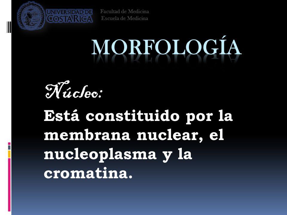 Núcleo: Está constituido por la membrana nuclear, el nucleoplasma y la cromatina. Facultad de Medicina Escuela de Medicina