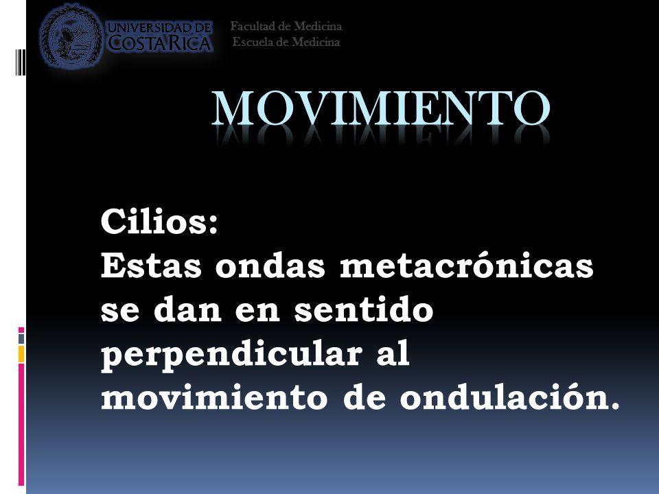 Cilios: Estas ondas metacrónicas se dan en sentido perpendicular al movimiento de ondulación. Facultad de Medicina Escuela de Medicina