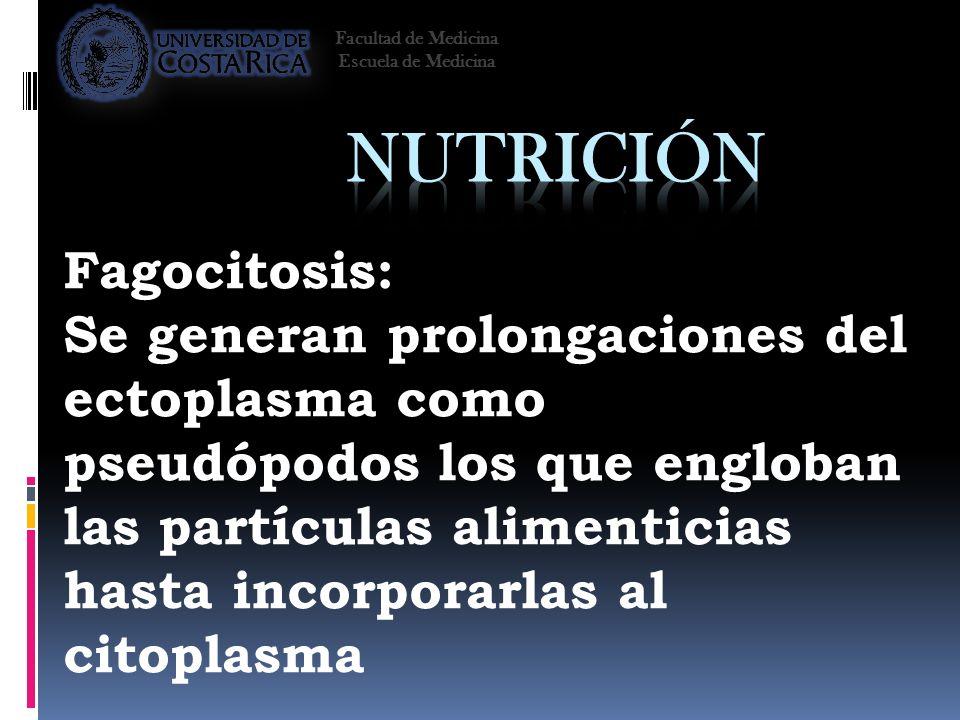 Fagocitosis: Se generan prolongaciones del ectoplasma como pseudópodos los que engloban las partículas alimenticias hasta incorporarlas al citoplasma