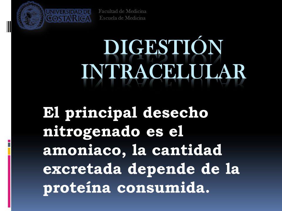El principal desecho nitrogenado es el amoniaco, la cantidad excretada depende de la proteína consumida. Facultad de Medicina Escuela de Medicina