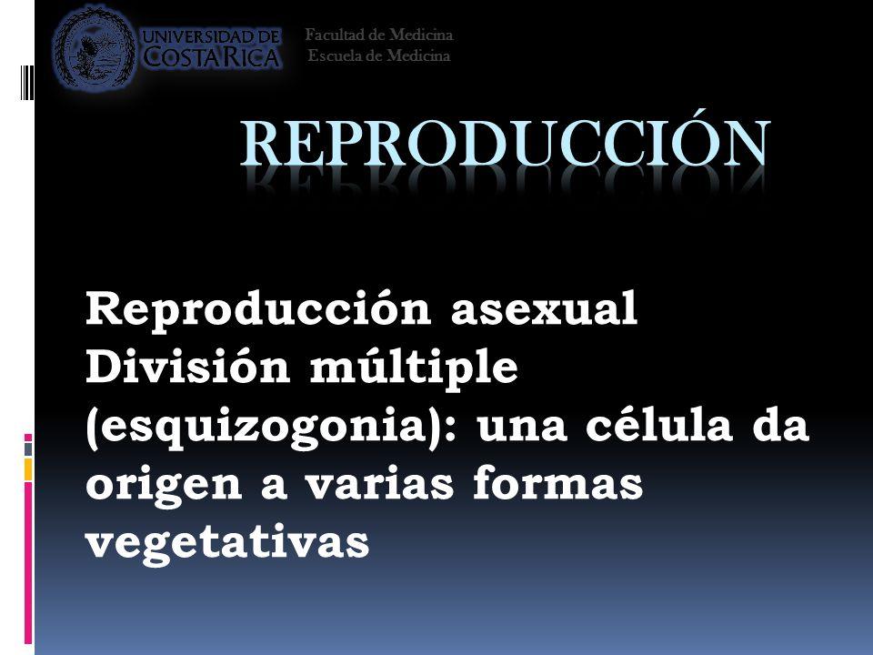 Reproducción asexual División múltiple (esquizogonia): una célula da origen a varias formas vegetativas Facultad de Medicina Escuela de Medicina