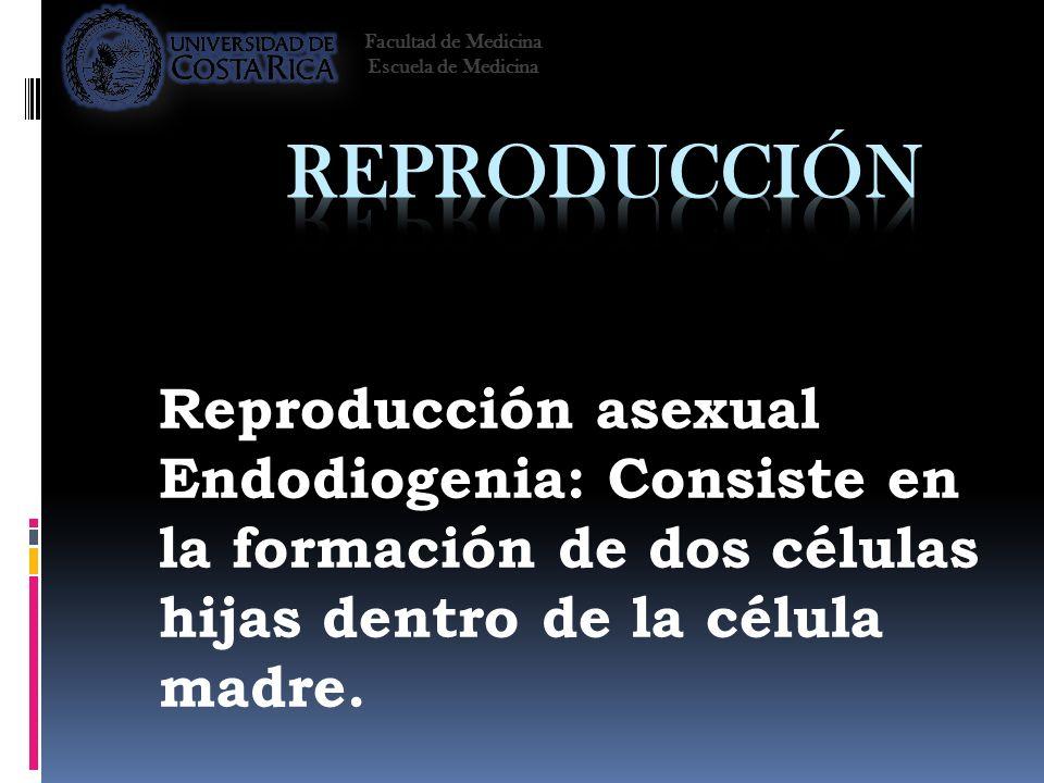 Reproducción asexual Endodiogenia: Consiste en la formación de dos células hijas dentro de la célula madre. Facultad de Medicina Escuela de Medicina