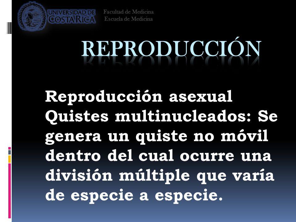 Reproducción asexual Quistes multinucleados: Se genera un quiste no móvil dentro del cual ocurre una división múltiple que varía de especie a especie.