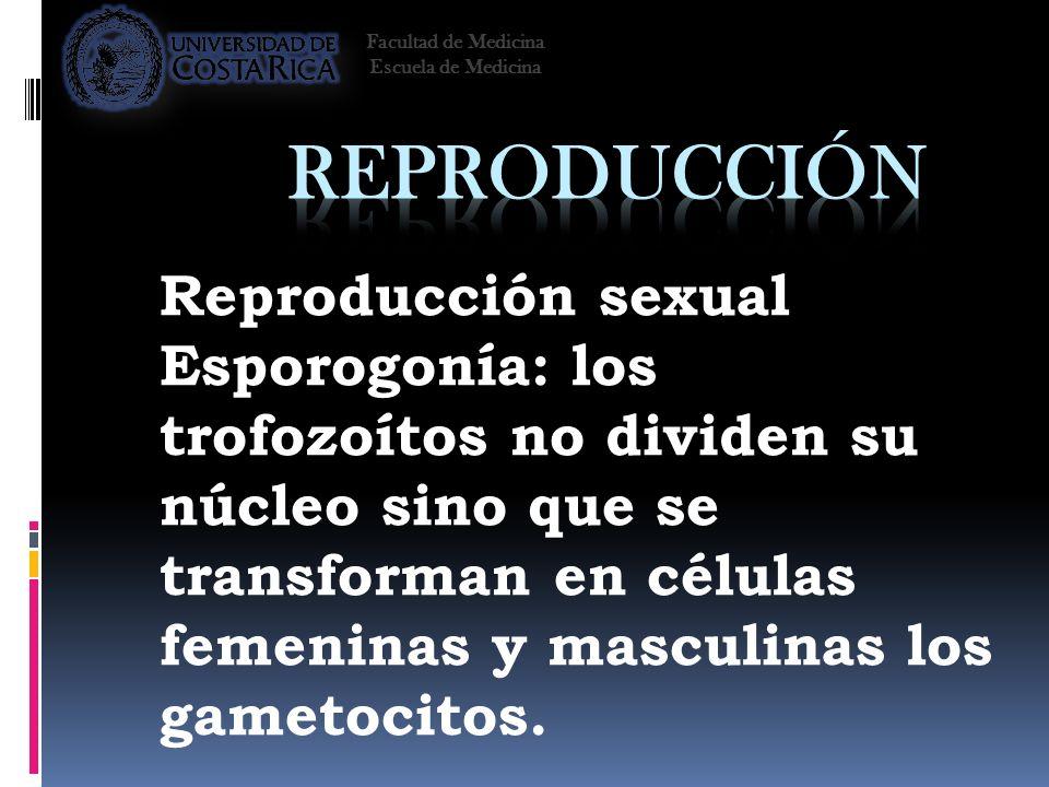 Reproducción sexual Esporogonía: los trofozoítos no dividen su núcleo sino que se transforman en células femeninas y masculinas los gametocitos. Facul