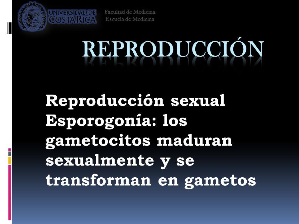 Reproducción sexual Esporogonía: los gametocitos maduran sexualmente y se transforman en gametos Facultad de Medicina Escuela de Medicina