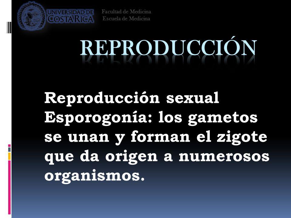 Reproducción sexual Esporogonía: los gametos se unan y forman el zigote que da origen a numerosos organismos. Facultad de Medicina Escuela de Medicina