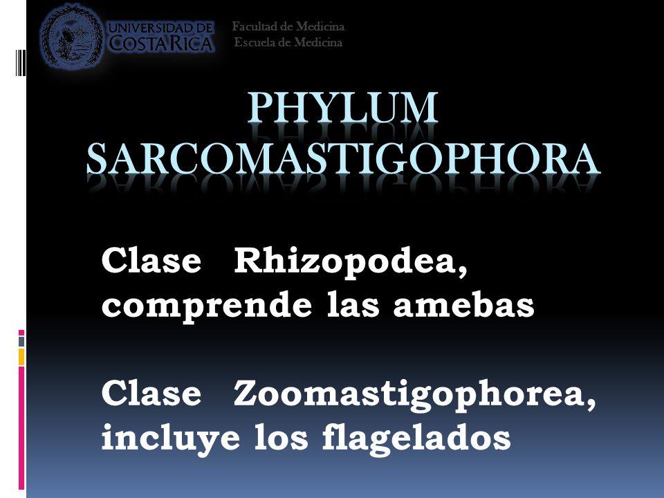 ClaseRhizopodea, comprende las amebas ClaseZoomastigophorea, incluye los flagelados Facultad de Medicina Escuela de Medicina
