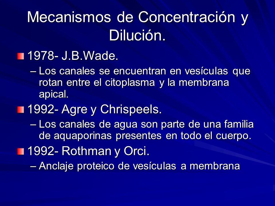 1978- J.B.Wade. –Los canales se encuentran en vesículas que rotan entre el citoplasma y la membrana apical. 1992- Agre y Chrispeels. –Los canales de a