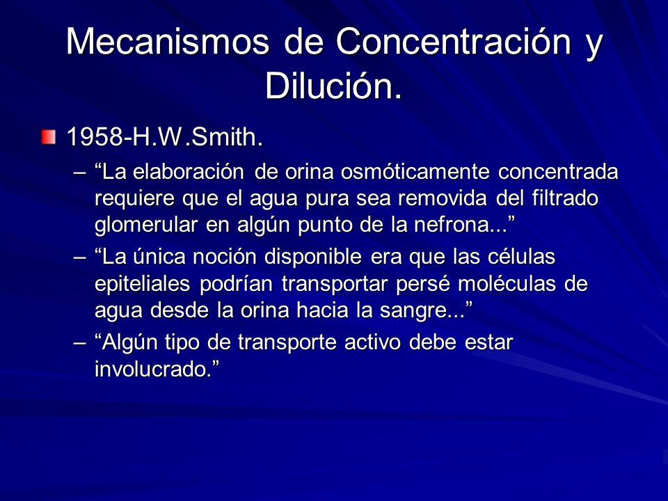 Mecanismos de Concentración y Dilución. 1958-H.W.Smith. –La elaboración de orina osmóticamente concentrada requiere que el agua pura sea removida del