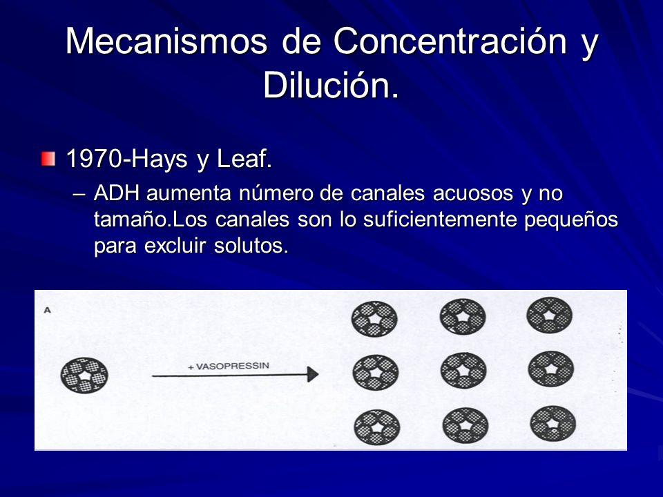 1970-Hays y Leaf. –ADH aumenta número de canales acuosos y no tamaño.Los canales son lo suficientemente pequeños para excluir solutos.