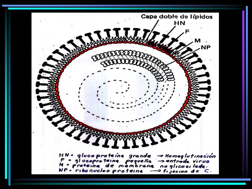 RUBEOLA CONGENITA De 9 a 16 semanas de embarazo tasa de infeccion del 10 al 15 %.