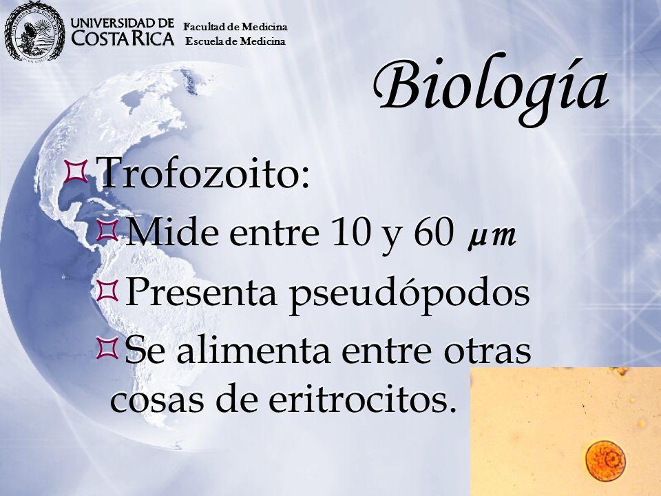 Biología Trofozoito: Mide entre 10 y 60 µm Presenta pseudópodos Se alimenta entre otras cosas de eritrocitos. Trofozoito: Mide entre 10 y 60 µm Presen