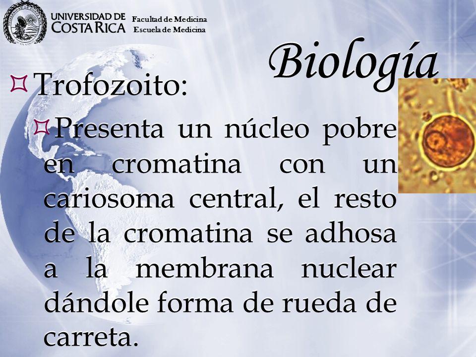 Biología Trofozoito: Presenta un núcleo pobre en cromatina con un cariosoma central, el resto de la cromatina se adhosa a la membrana nuclear dándole