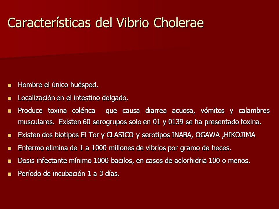 Características del Vibrio Cholerae Hombre el único huésped. Hombre el único huésped. Localización en el intestino delgado. Localización en el intesti