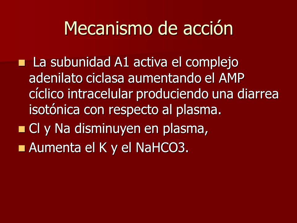 Mecanismo de acción La subunidad A1 activa el complejo adenilato ciclasa aumentando el AMP cíclico intracelular produciendo una diarrea isotónica con