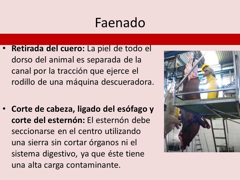 Faenado Retirada del cuero: La piel de todo el dorso del animal es separada de la canal por la tracción que ejerce el rodillo de una máquina descuerad