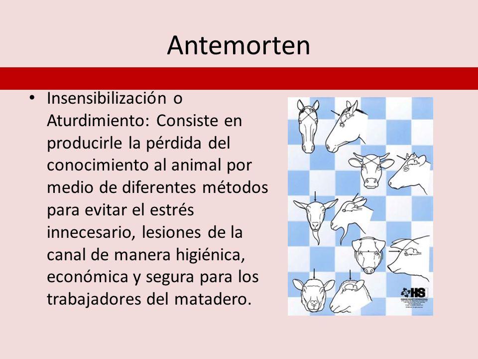Antemorten Insensibilización o Aturdimiento: Consiste en producirle la pérdida del conocimiento al animal por medio de diferentes métodos para evitar