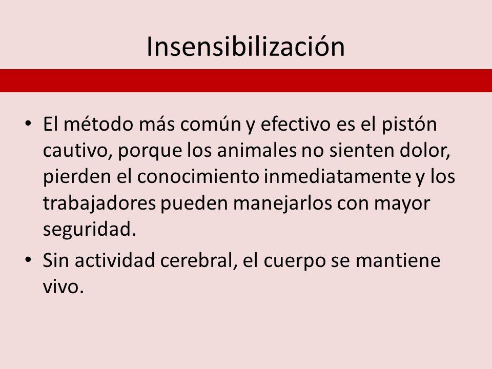 Insensibilización El método más común y efectivo es el pistón cautivo, porque los animales no sienten dolor, pierden el conocimiento inmediatamente y