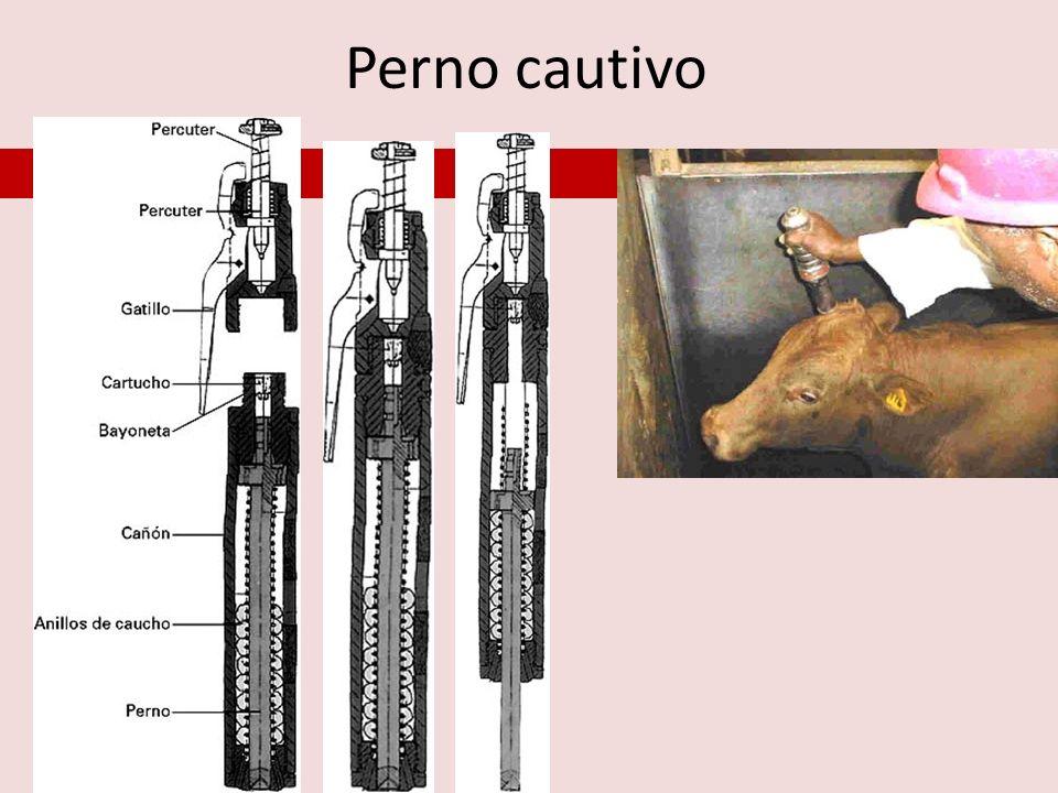 Mortem Sacrificio: Abarca los procesos efectuados en una res para consumo humano, desde la insensibilización hasta la sangría, mediante el corte de los grandes vasos (denominado degüello) para producir la muerte del animal.