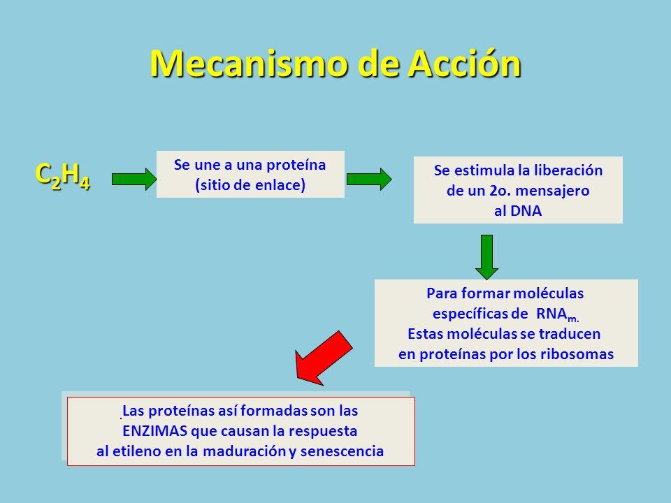 Mecanismo de Acción C2H4C2H4C2H4C2H4 Se une a una proteína (sitio de enlace) Se estimula la liberación de un 2o. mensajero al DNA Para formar molécula