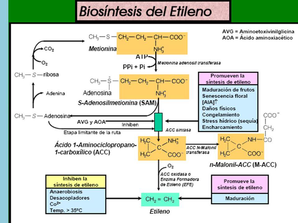 3.2 Uso y control del etileno.