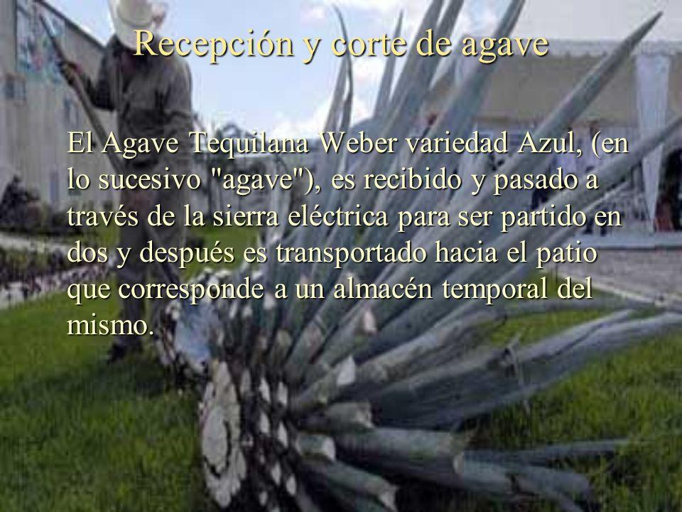 Recepción y corte de agave El Agave Tequilana Weber variedad Azul, (en lo sucesivo