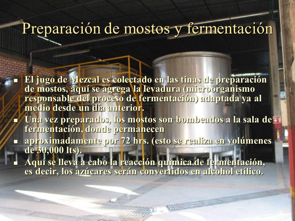 Preparación de mostos y fermentación El jugo de Mezcal es colectado en las tinas de preparación de mostos, aquí se agrega la levadura (microorganismo