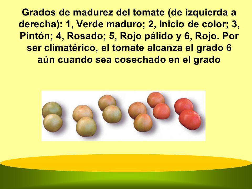 Grados de madurez del tomate (de izquierda a derecha): 1, Verde maduro; 2, Inicio de color; 3, Pintón; 4, Rosado; 5, Rojo pálido y 6, Rojo. Por ser cl