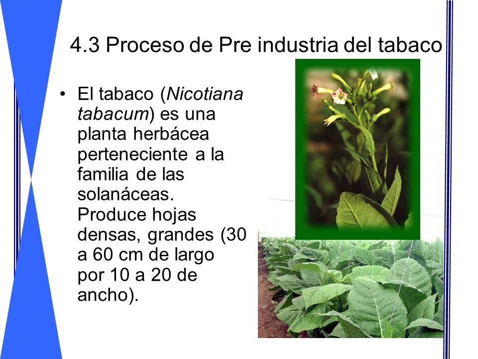 4.3 Proceso de Pre industria del tabaco El tabaco (Nicotiana tabacum) es una planta herbácea perteneciente a la familia de las solanáceas. Produce hoj