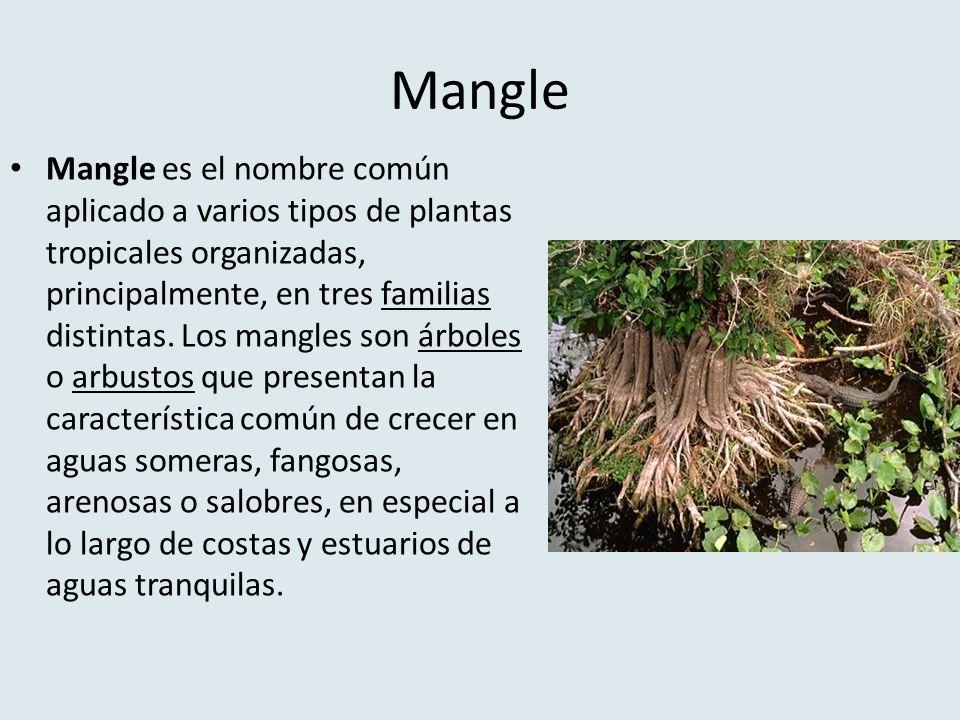 Mangle Mangle es el nombre común aplicado a varios tipos de plantas tropicales organizadas, principalmente, en tres familias distintas. Los mangles so