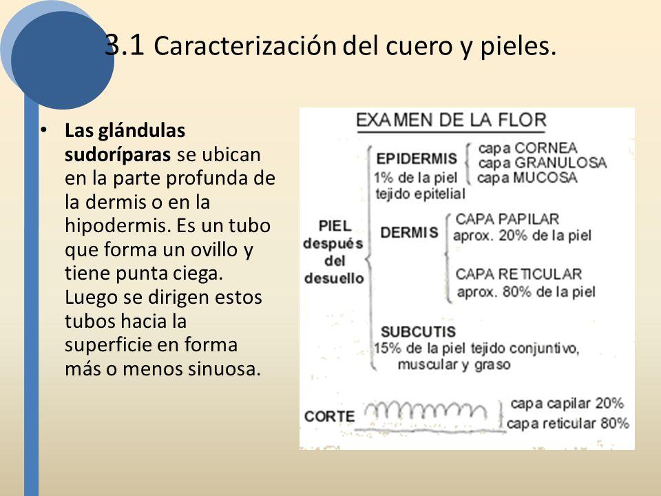 3.1 Caracterización del cuero y pieles. Las glándulas sudoríparas se ubican en la parte profunda de la dermis o en la hipodermis. Es un tubo que forma