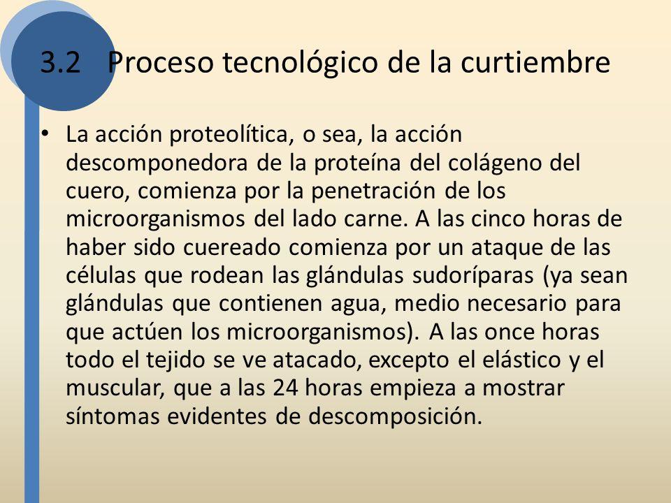 La acción proteolítica, o sea, la acción descomponedora de la proteína del colágeno del cuero, comienza por la penetración de los microorganismos del