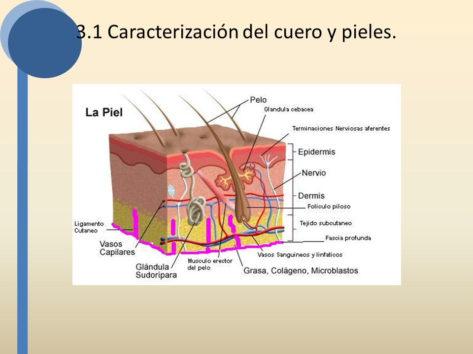 La Piel se puede definir utilizando tres criterios diferentes: estructural, embriológico o funcional.